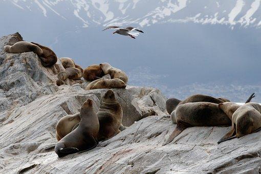 Sea Lions, Bluschnabelmoewe, Seagull, Beagle Channel