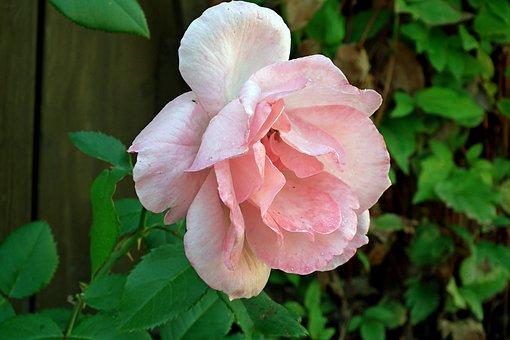 Rose, Flower, Pink, Plant, Beauty, Garden, Nature