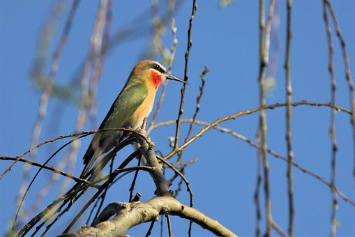 White Fronted Bee-eater, Branch, Blue Skies, Bird