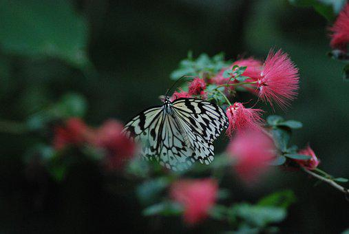 Butterfly, Black, White, Feeding, Insect, Nature