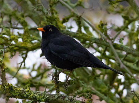 Blackbird, Blackbird In A Tree, Male Blackbird, Perched