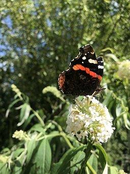 Admiral, Butterfly, Edelfalter, Butterflies, Insect