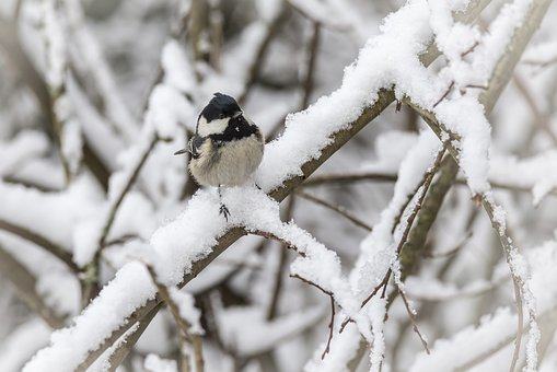 Tit, Cold Temperature, Perching
