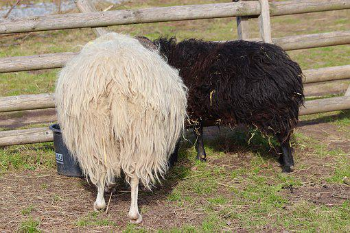 Sheep, Couple, Black And White, Wool