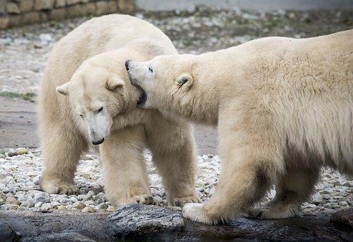 Polar Bear, Bear, Cute, Alaska, Danger, Antarctica