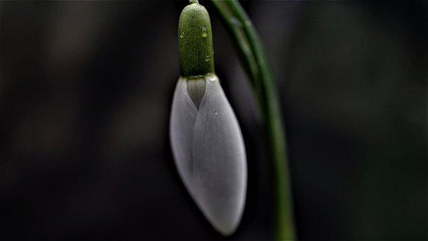 Snowdrop, Early Bloomer, February, Background, Season