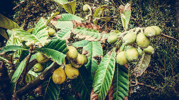Flora, Green, Turkey, Botanica, Fruit