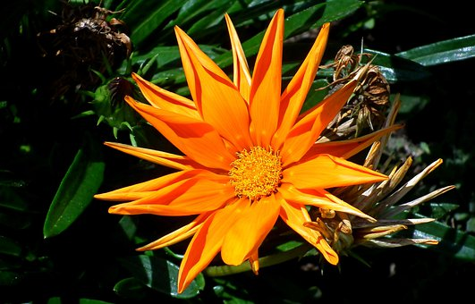 Gazania, Flower, Nature, Summer, Garden