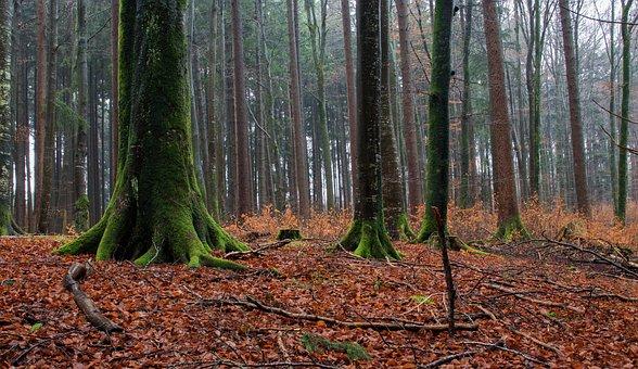Beech Wood, Rain, Beech, Mixed Forest, Forest, Winter