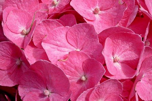 Hydrangea, Flowers, Pink, Summer, Garden