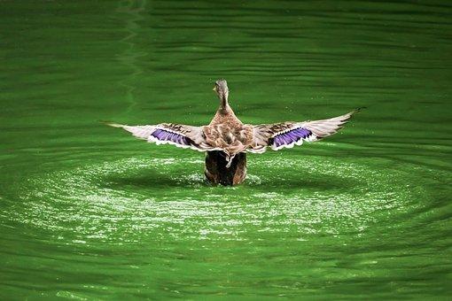 Bird, Duck, Nature, Animal, Goose