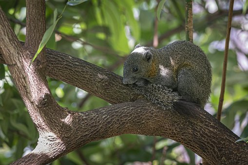 Grey-Bellied Squirrel