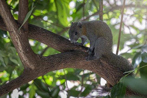 Grey-bellied Squirrel, Callosciurus Caniceps, Thailand
