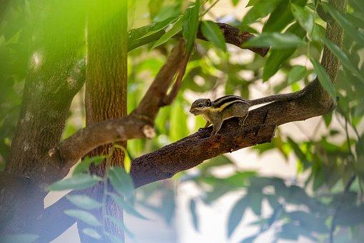 Himalayan Striped Squirrel, Tamiops Mcclellandii, Apple