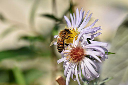 Bee, Honey Bee, Insect, Aster, Blossom