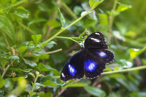 Blue Moon Butterfly, Hypolimnas Bolina, Insect, Nature