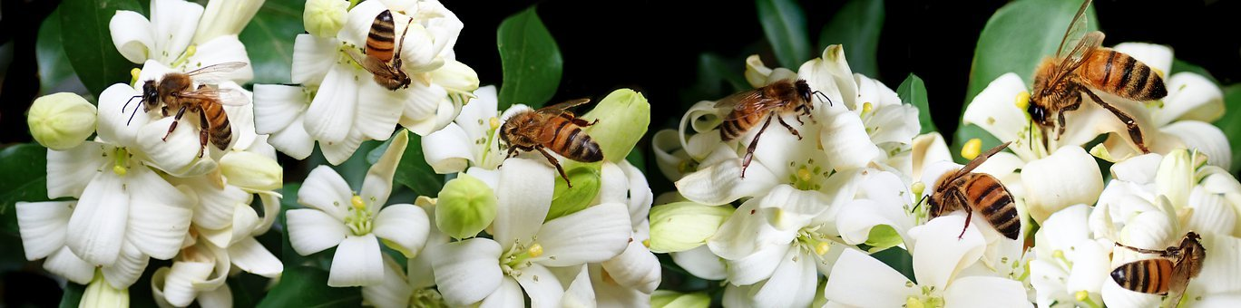 Bees, Insects, Pollen, Flowers, Orange Jasmine, Tree