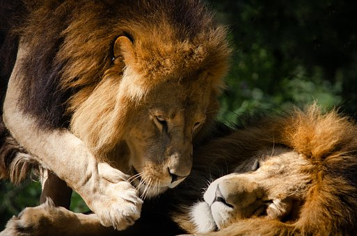 Lion, Predator, Big Cat, Mieze, Mane, Cat, Mammal
