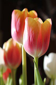 Tulips, Flowers, Plant, Macro, Spring