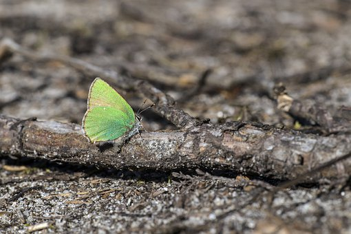 Callophrys Rubi, Green Hairstreak, Macro, Looking