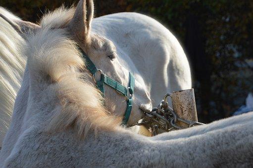 Horse, Animal, Mammals, Horseback Riding, Mane
