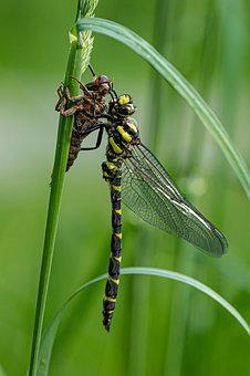 Dragonfly, Nature, Insect, Macro, Wing