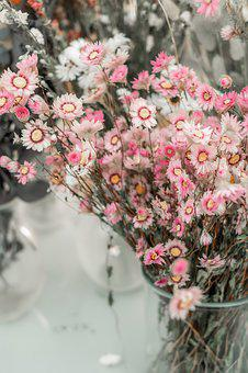 Straw Flowers, Flowers, Bloom, Pink, Trockenblume