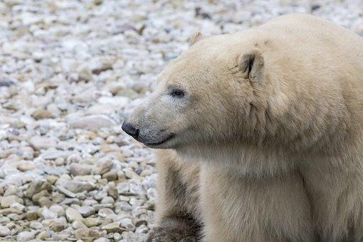 Polar Bear, Bear, Cute, Danger, Antarctica