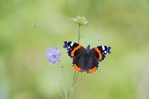 Red Admiral, Vanessa Atalanta, Red, Butterfly, Flowers