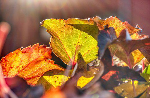 Autumn Colours, Vine Leaves, Backlighting, Bright, Red