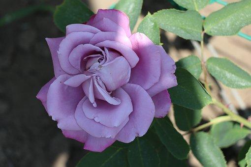 Rose, Flower, Nature, Plant, Romantic, Love, Roses