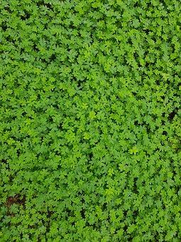 Four-leaf Clover, Shamrocks, Green, Nature