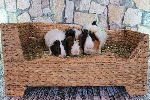 Guinea Pig, Sweet, Cute, Small, Pet