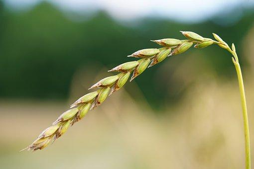 Spelt, Grain, Cereals, Ear, Spelt Ear