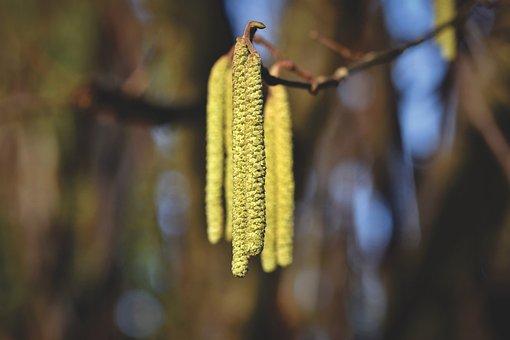 Hazel Flower, Stamen, Pollen, Hazelnut, Bush, Plant