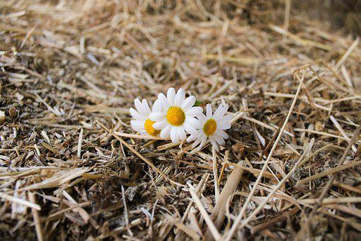 Daisy, Straw, Countryside, Yellow