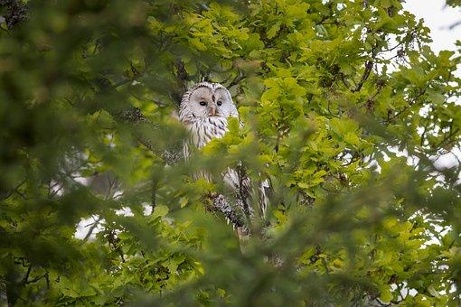 Ural Owl, Strix Uralensis, Bird Of Prey