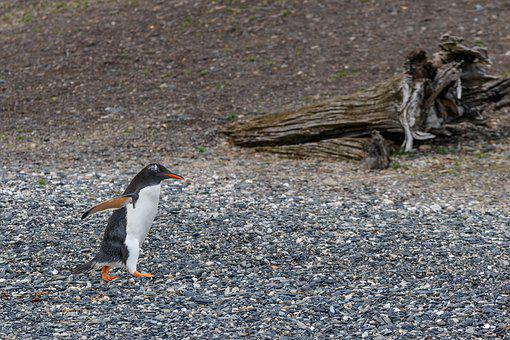 Donkey Penguin, Penguin, Patagonia, The Beagle Channel