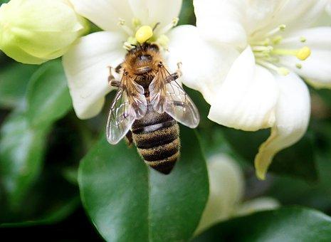 Bee, Insect, Pollen, Flower, Orange Jasmine, Tree