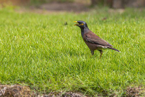 Common Myna, Acridotheres, Tristis, Tropical, Bird