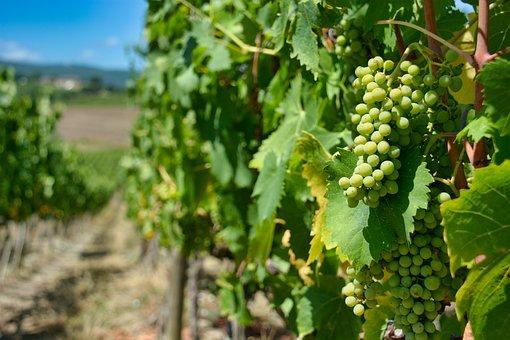 Grapes, Vineyard, Vine, Fruits, Vines