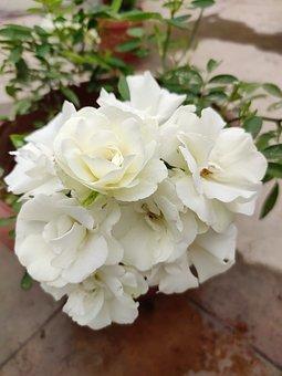 Flowers, Rose Flowers, White Flowers