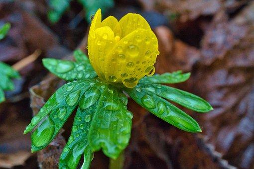 Early Bloomer, White, Winter, Rain, Raindrop, Nature
