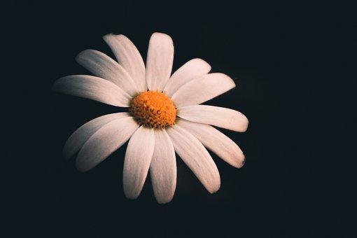 Rose, White Rose, Flower White, Flower
