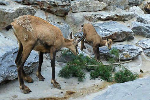 Chamois, Gems, Zoo, Alpenzoo, Animal World, Mammal