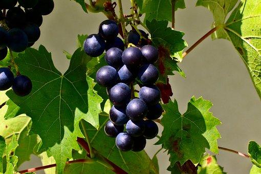 Grapes, Blue Grapes, Fruit, Blue, Wine