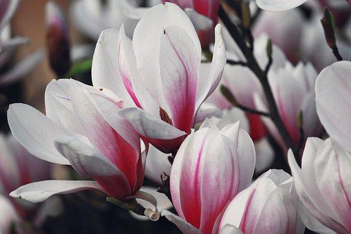 Magnolia, White, Pink, Bloom, Magnolia Blossom, Bush