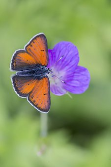 Lycaena Phlaeas, Small Copper, Butterfly