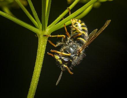 Wasp, Vespula Vulgaris, Insect, Nature, Macro, Close-up