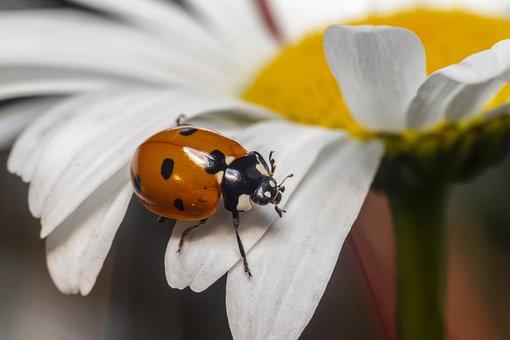 Ladybird Beetle, Coccinella Septempunctata, Ladybug